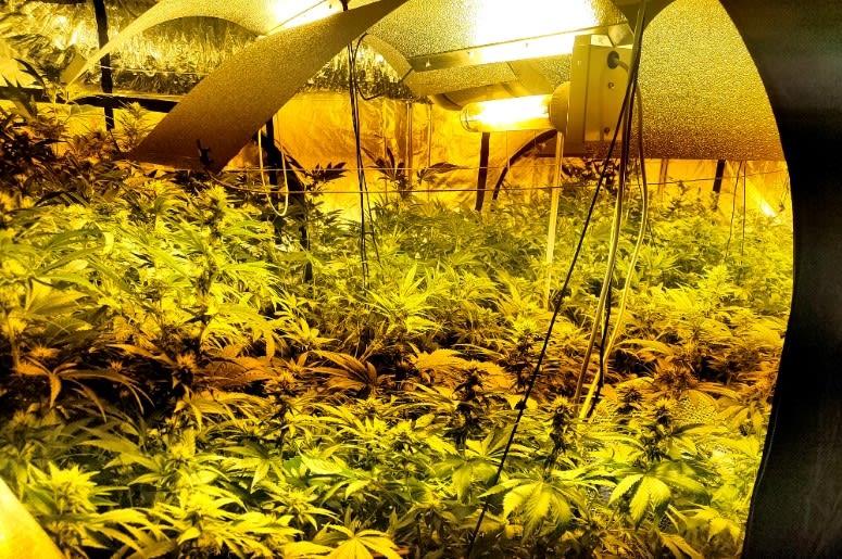Policjanci znaleźli 446 krzaków marihuany pod Warszawą [WIDEO]