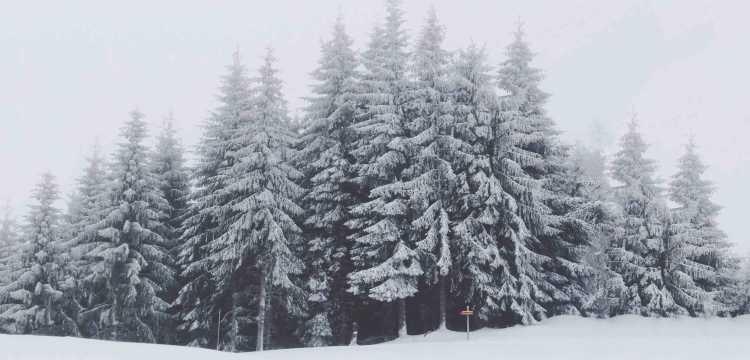 Abetos nevados