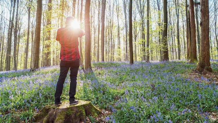 Hallerbos woods