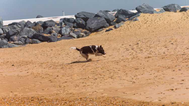 Hond op strand, Oostende