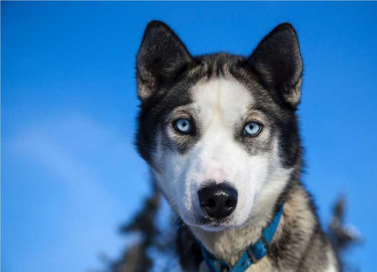 Le Husky, le chien du musher