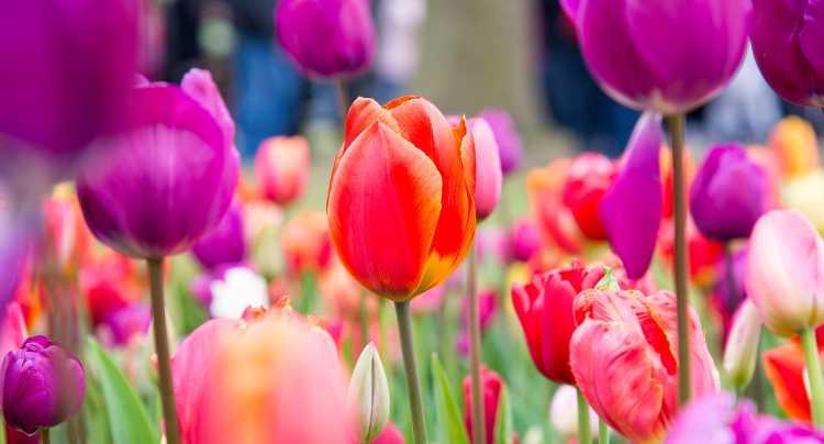 Tulipanes de la recién llegada primavera