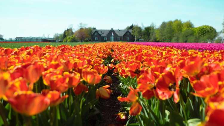 Campo di tulipani in Lisse