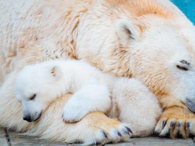 Ours polaire louveteau