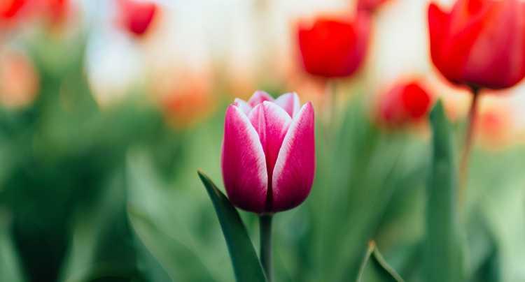 Amour pour les tulipes