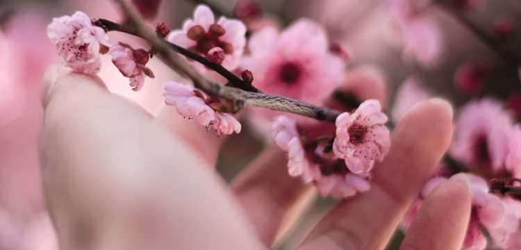 Belles fleurs de cerisier