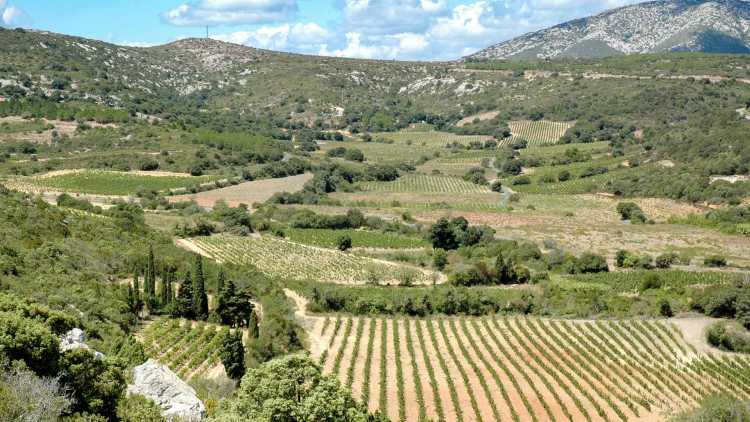 Vignes des Corbières