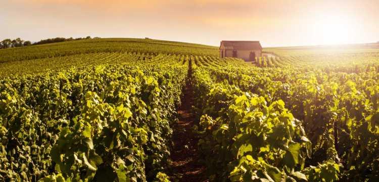Druivenoogst: de Champagnestreek op zijn bruisende best