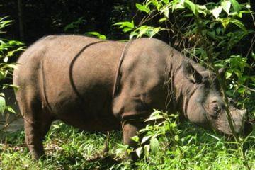 Sumatran-rhino