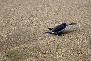photo 5. Pelepasan tukik di Pantai Sukamade