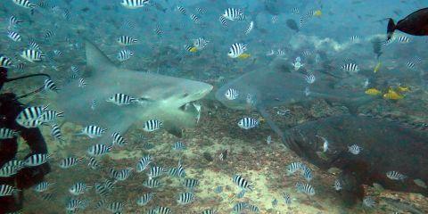 2142-Bull-shark-centre-has-bait-at-Aqua-Trek-Shark-dive-1-diving-Beqa-Lagoon-DPI-2142
