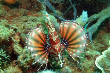 7835-Zebra-Lionfish-at-Sapi-Shores-diving-Kota-Kinabalu-Sabah-Malaysia-DPI-7835[1]