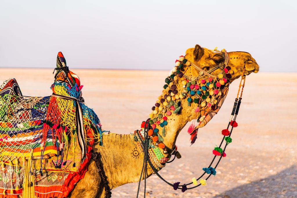 unta di padang pasir