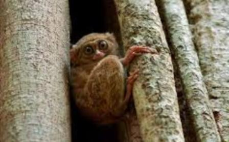 Tarsier in a tree hollow