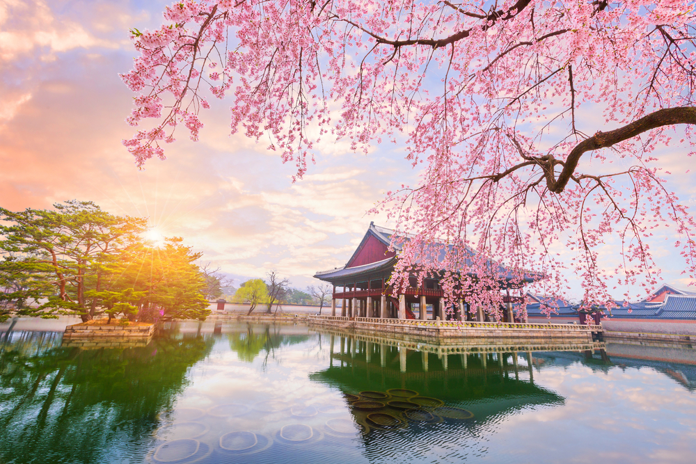 Cherry Festival 2020.Stay In Korea For The Spring 2020 사이공감 42share