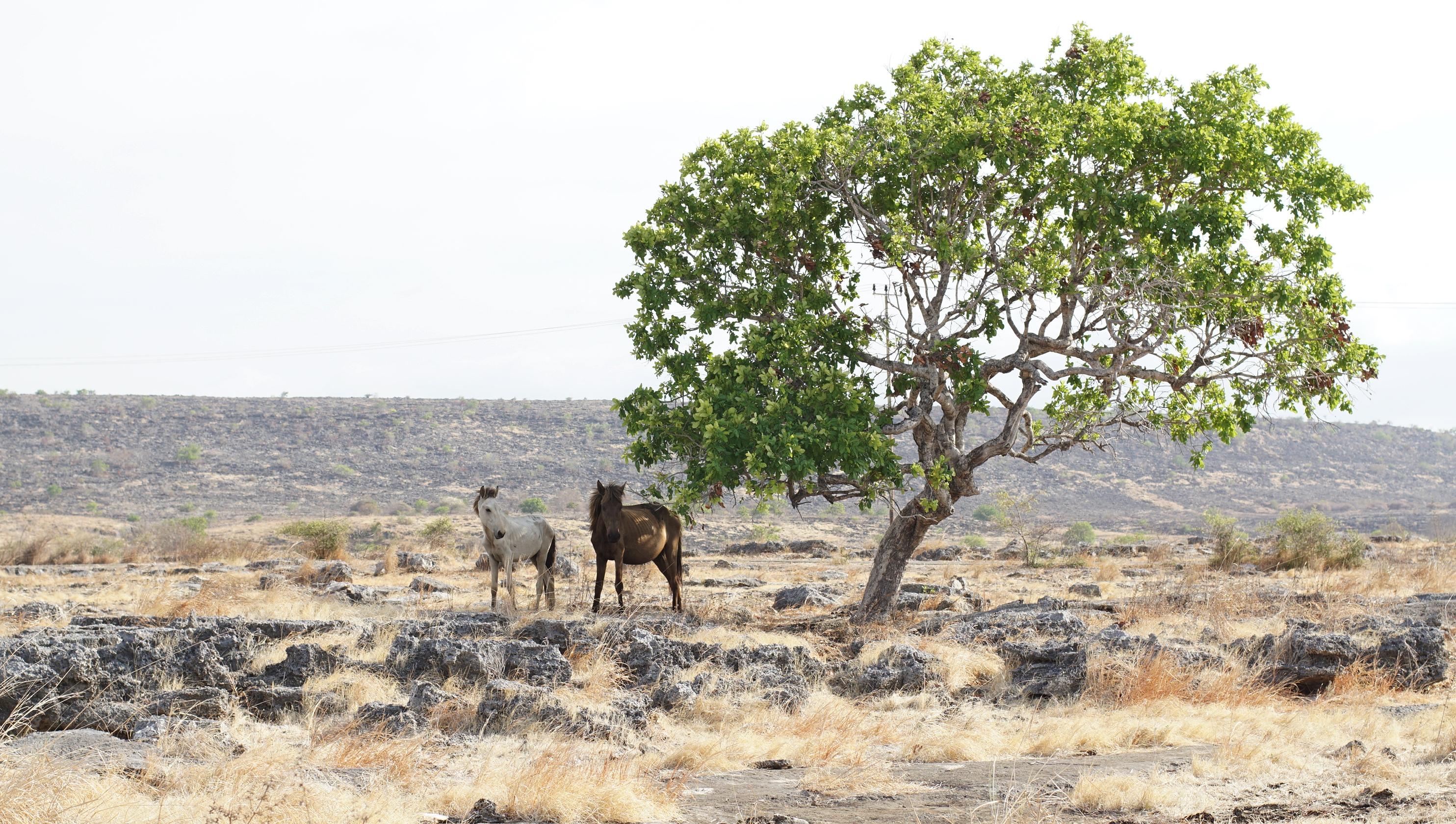 Kawanan kuda di padang rumput menjadi pemandangan saat road trip