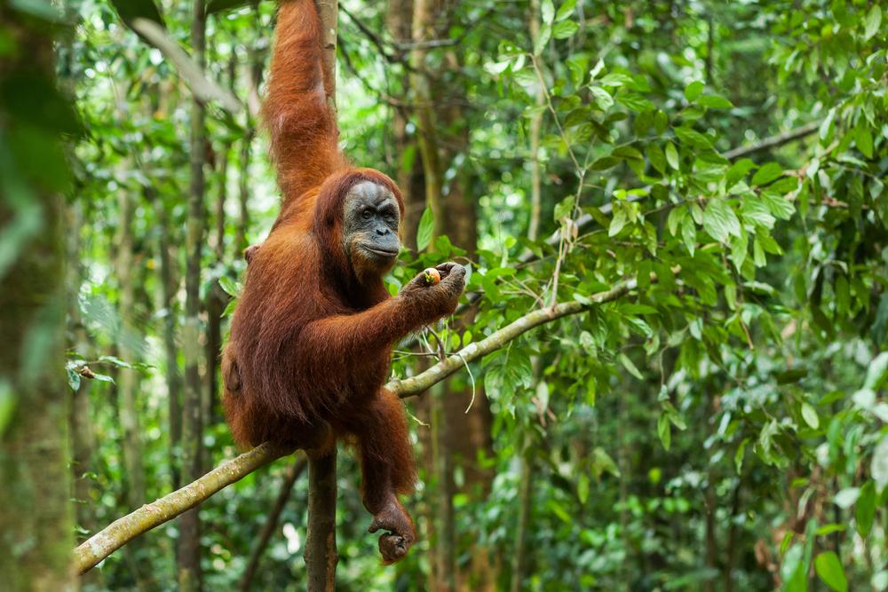 Orangutan Taman Nasional Gunung Leuser