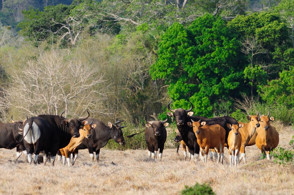 Banteng taman nasional alas purwo banyuwangi