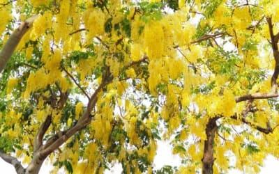 漫天落下黃金雨!2019 台南阿勃勒花季來臨 推薦賞花景點top10