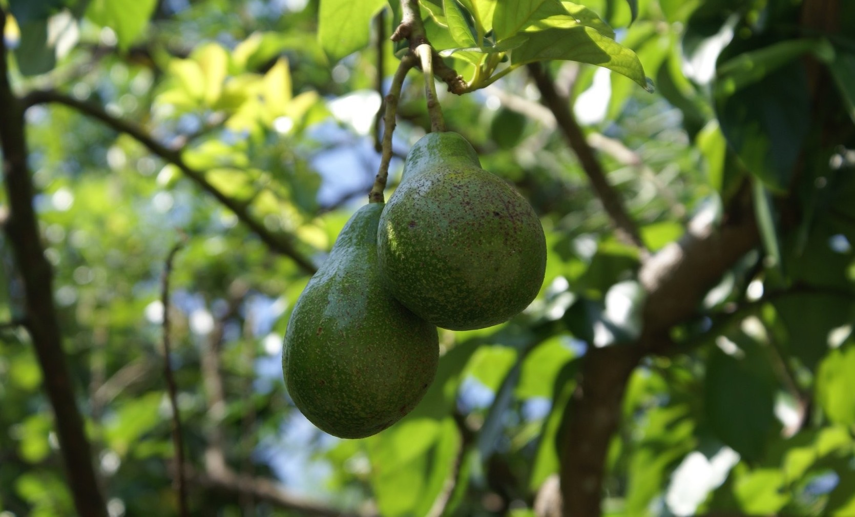 Is it worth starting an avocado orchard?