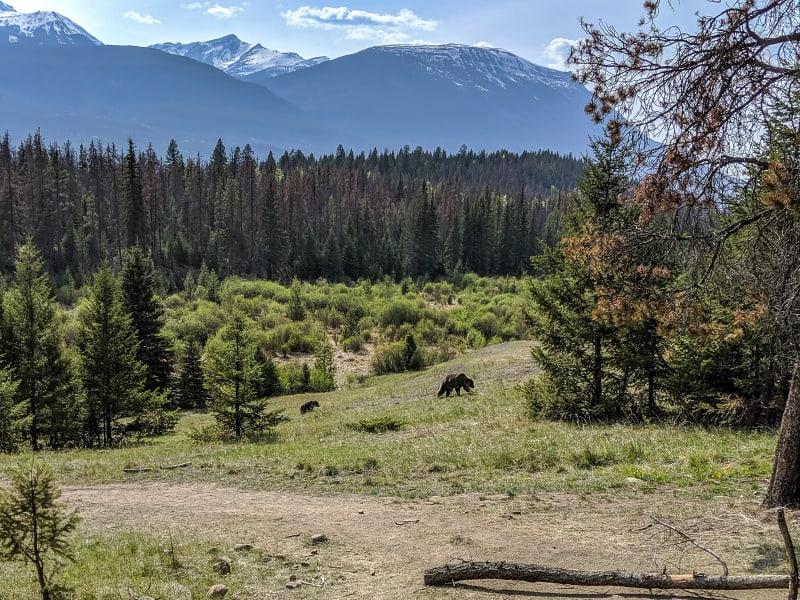 grizzly bears walking along a hillside