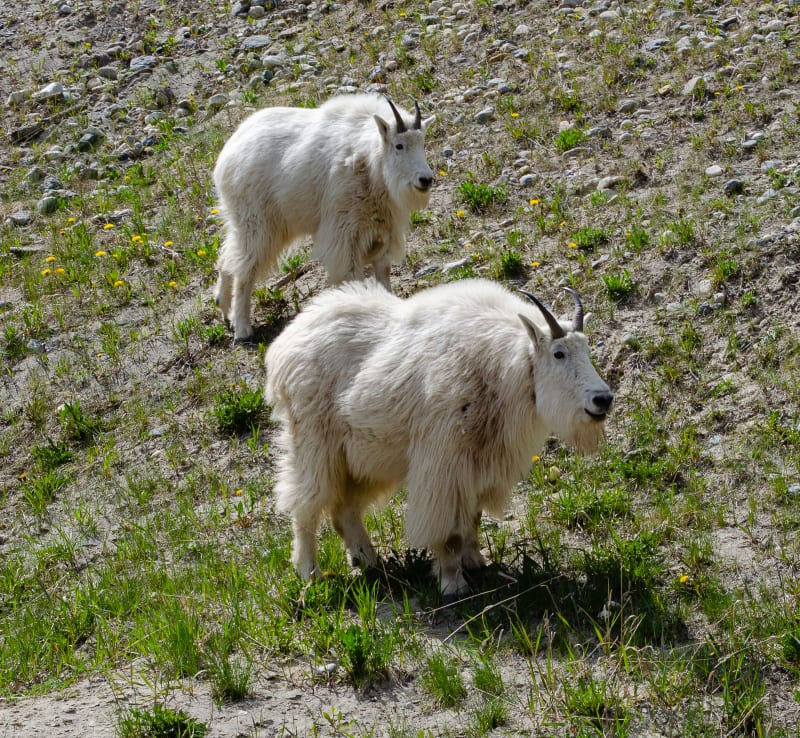 close up of two mountain goats