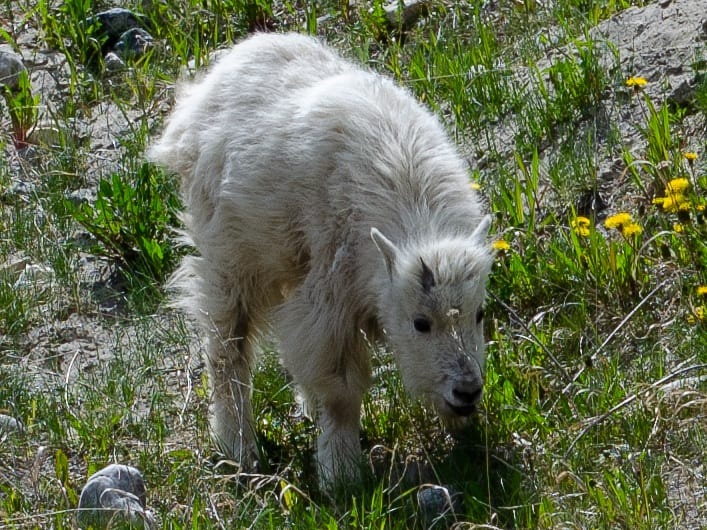 close up of a baby mountain goat