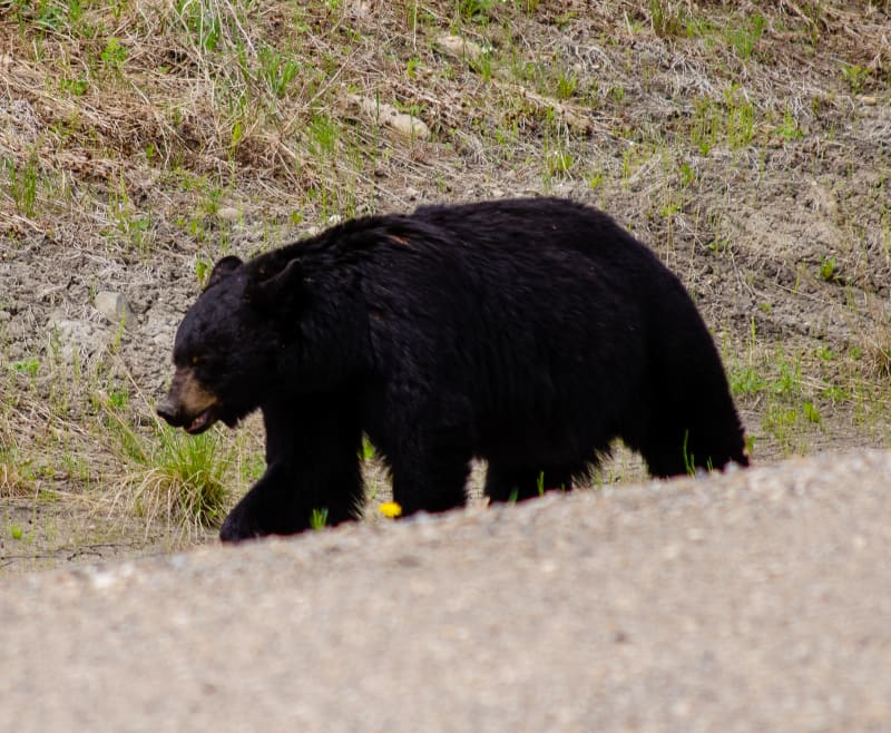 close up of a black bear along the road