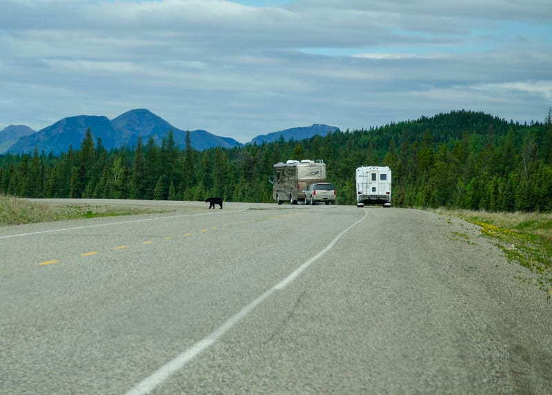 a bear on the shoulder of the road with two rvs parked nearby