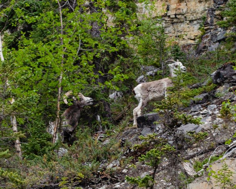bighorn sheep climbing on a cliff