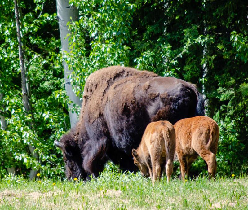 a buffalo with two calves