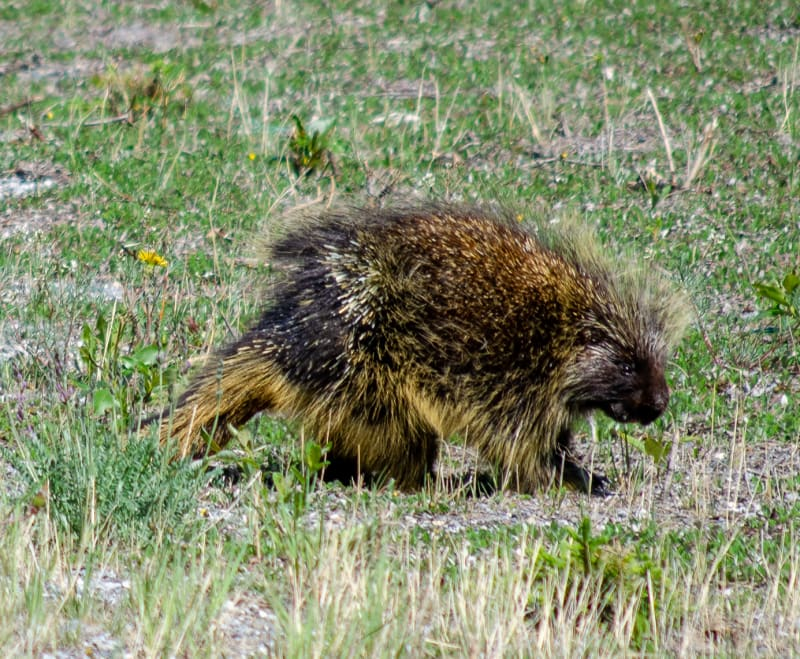 a porcupine along the road