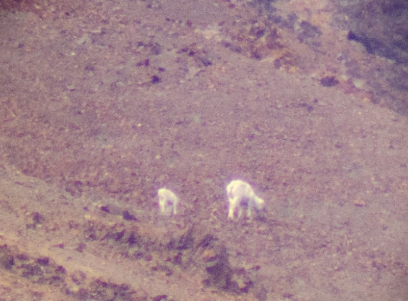 small fuzzy sheep on a mountain side