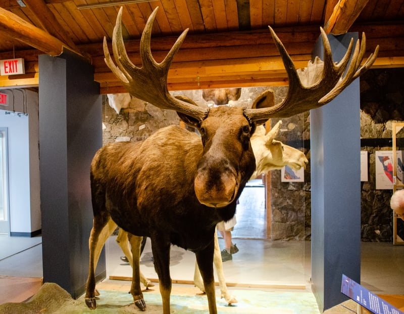 a large taxidermied moose