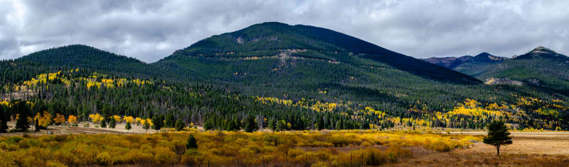 bright yellow trees among the dark green pine