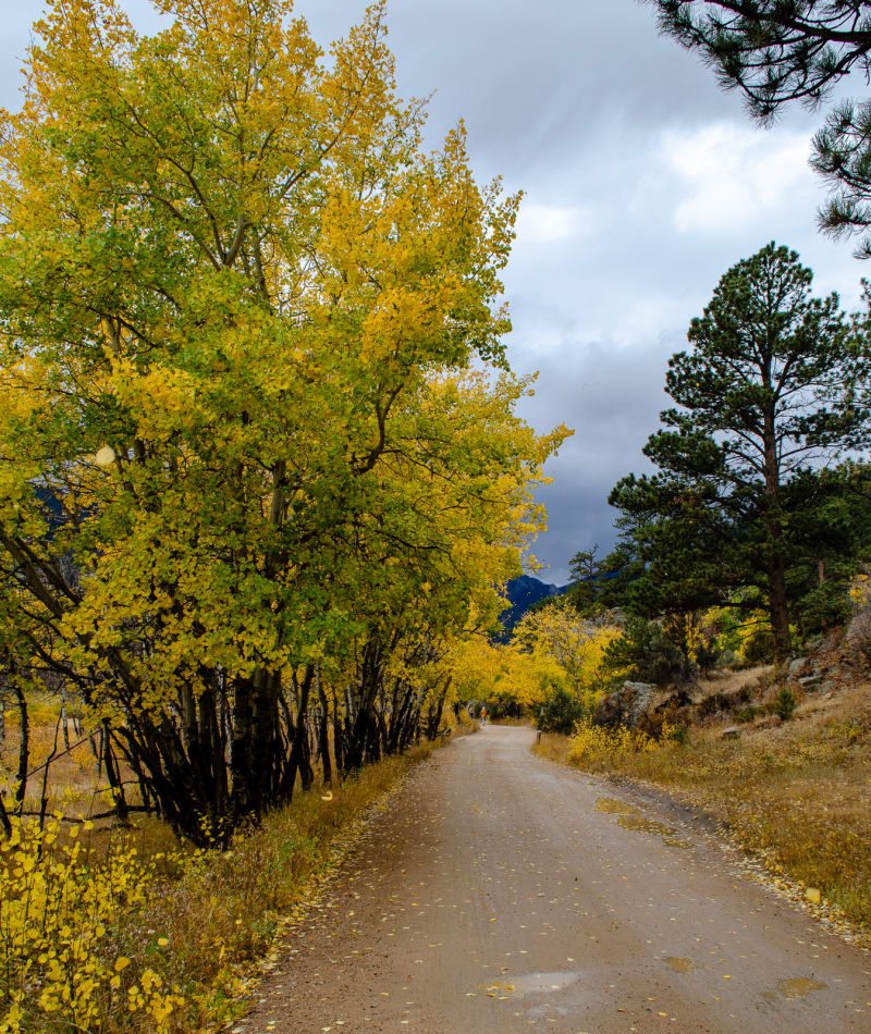trees with bright yellow leaves along a path