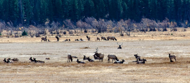 a field full of elk