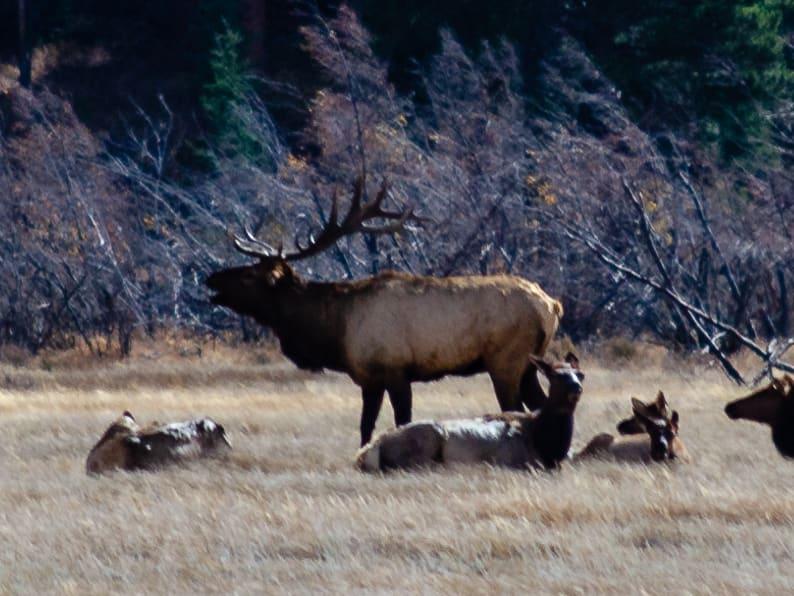 male elk bugling