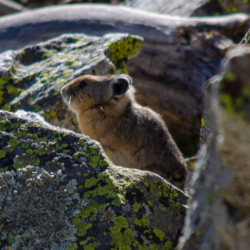 a pika in the rocks