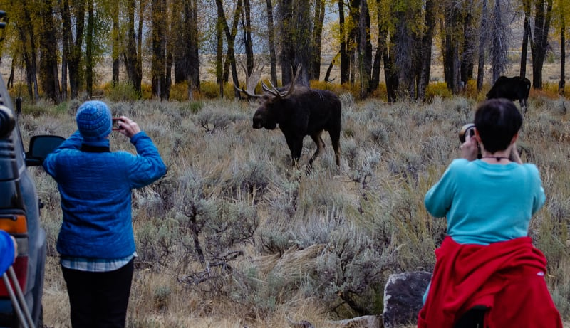 observers taking pictures of the moose from close up