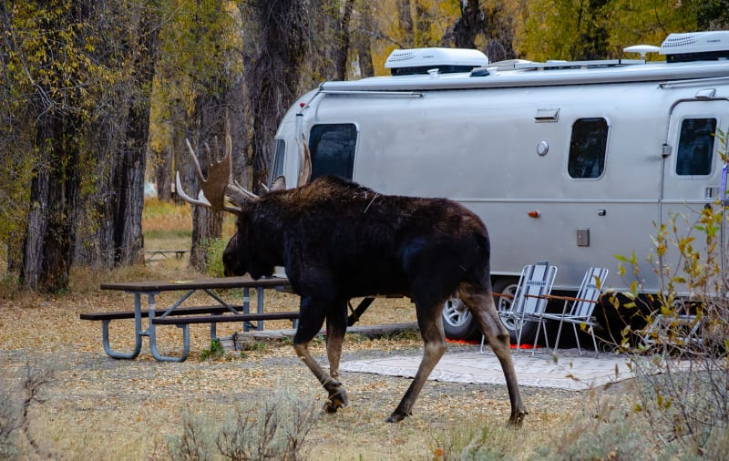 bull moose walking past an airstream rv