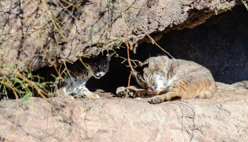 bobcats laying under a small cliff