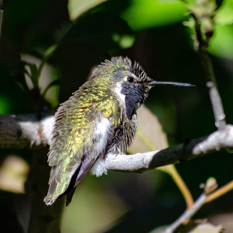 a green shiny hummingbird