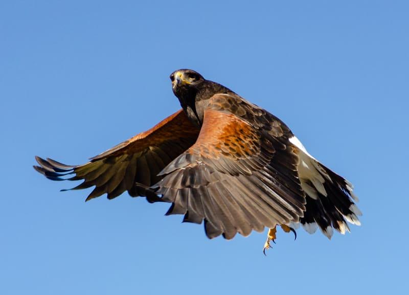 a ferruginous hawk in flight