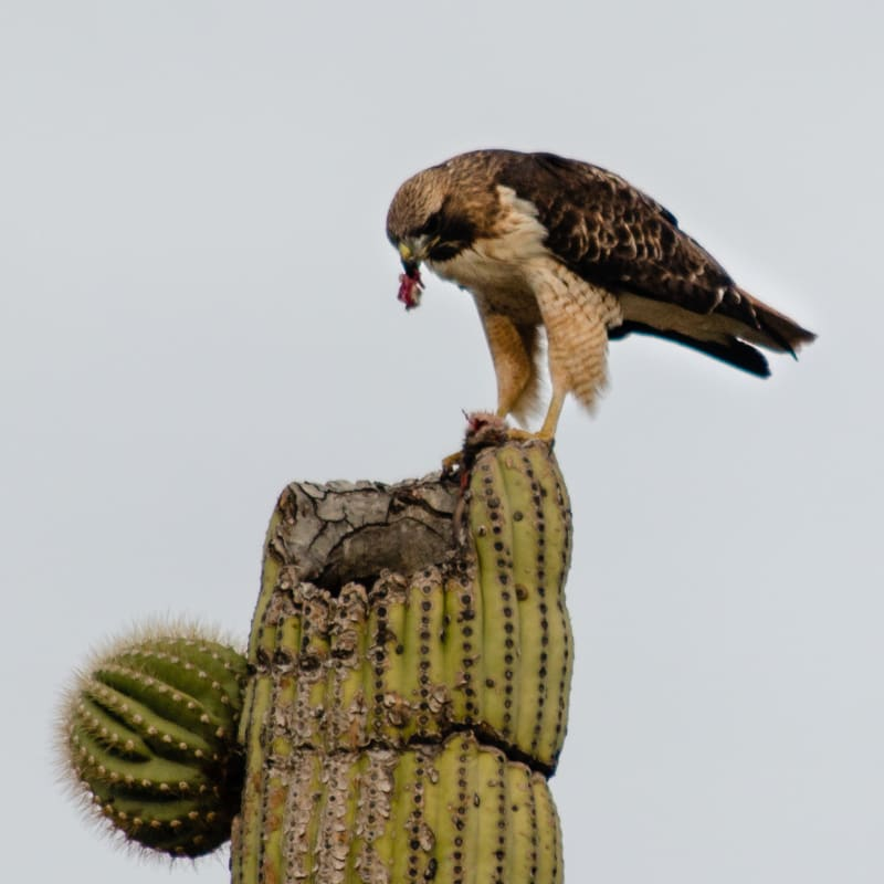 a hawk on top of a cactus with food in its mouth