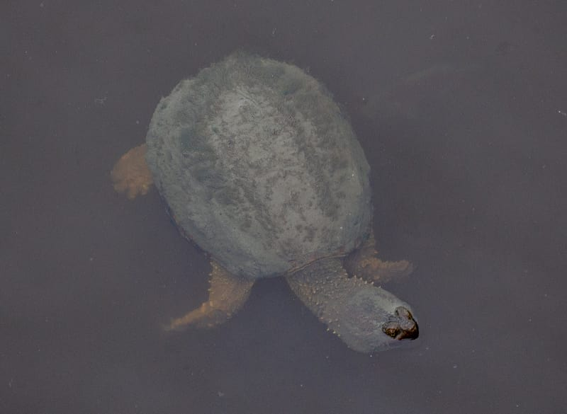 a snapping turtle in the marsh