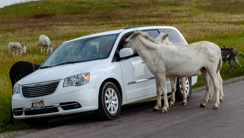 burros sticking heads in van window