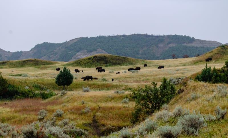 bison on a hillside
