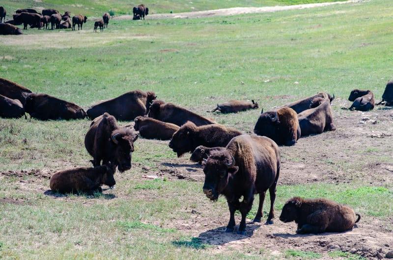 a bison herd