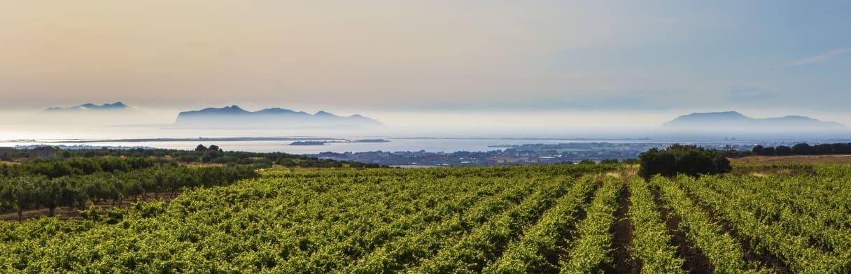 Cantine Paolini Weinreben mit Meer im Hintergrund